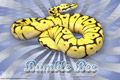 Vertigo Series Wallpaper - Ball Python Bumble Bee Morph