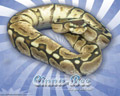 Vertigo Series Wallpaper - Ball Python Cinna-Bee Morph