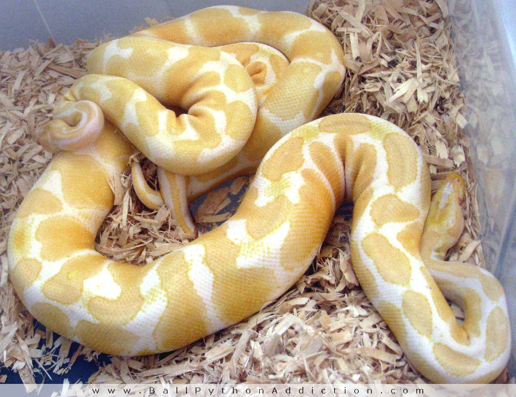 ballpythonaddiction.com