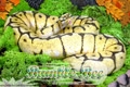 Moss Series Wallpaper - Ball Python Bumble Bee Morph