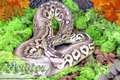 Moss Series Wallpaper - Ball Python Pewter Morph