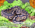 Moss Series Wallpaper - Ball Python Cinnamon Pastel Morph