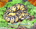 Moss Series Wallpaper - Ball Python Pastel Jungle Morph