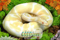 Moss Series Wallpaper - Ball Python Albino Morph