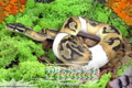 Moss Series Wallpaper - Ball Python Piebald Morph