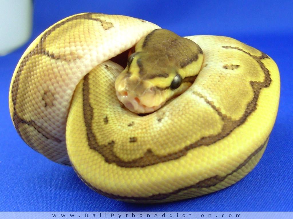 Blue ball python morphs